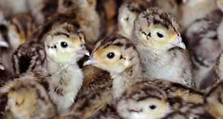 Pheasant Chicks for Sale in Barn at Blue Ribbon Game Birds