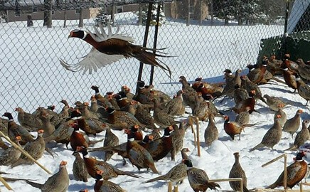 Flight Pens Filled with Pheasants For Sale at Blue Ribbon Game Birds