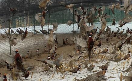 Pheasants for sale flushing at Blue Ribbon Game Bird Farm