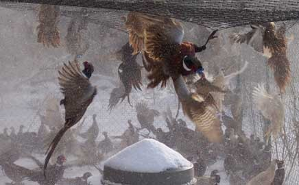Flying Pheasants for Sale in pen at Blue Ribbon Game Birds